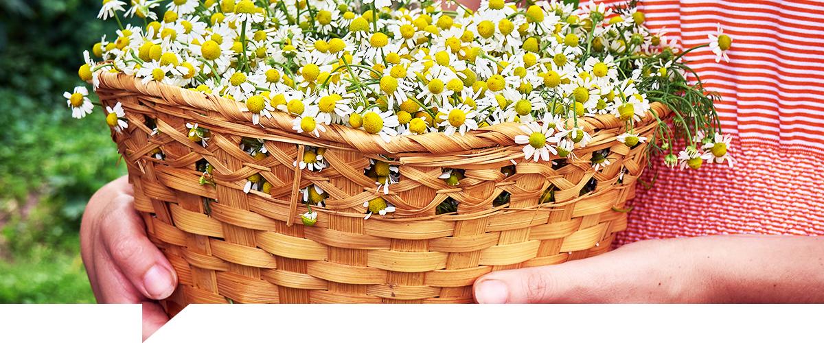 Cultivo plantas medicinales